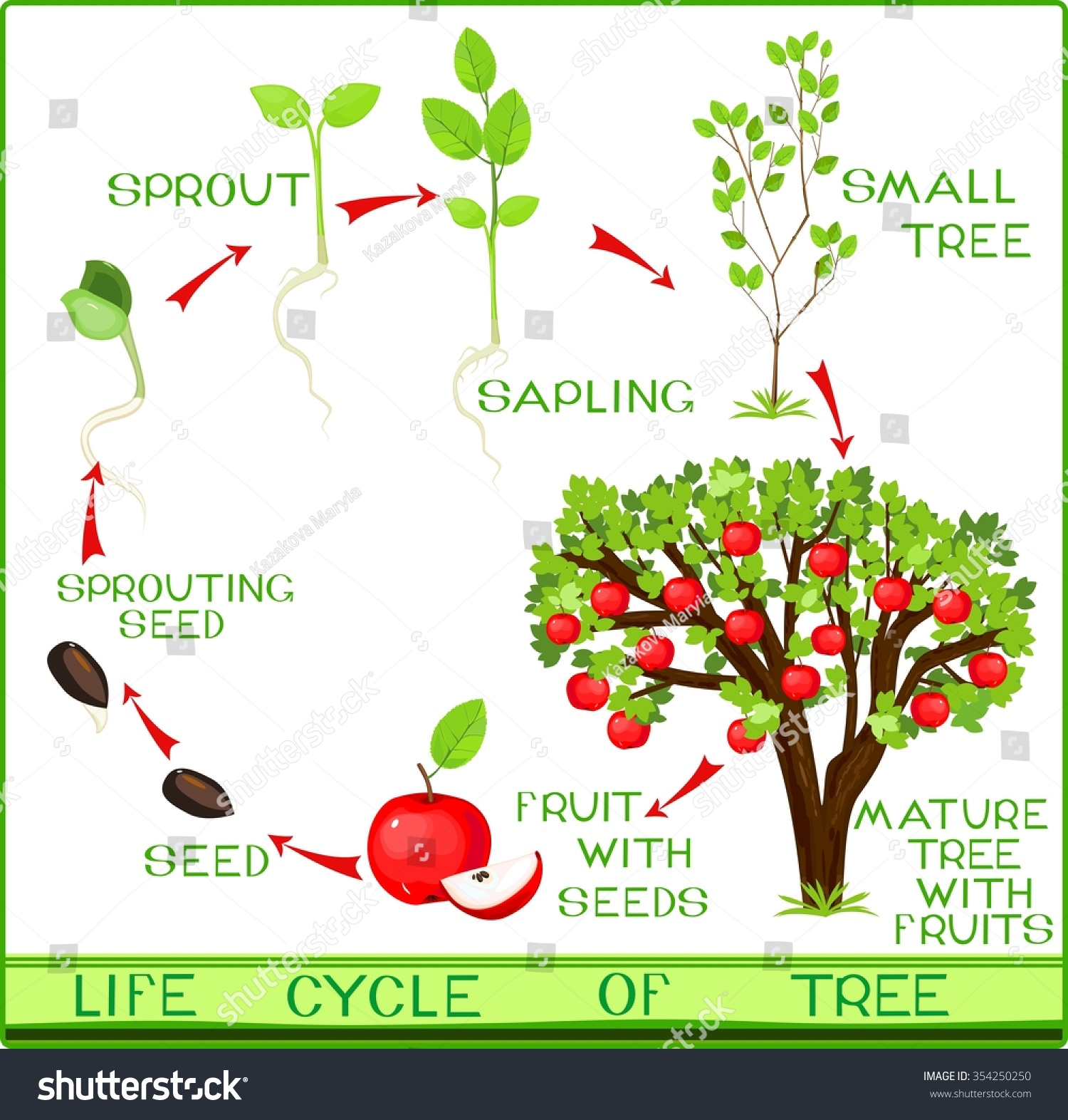 diagram of the life cycle strawberry wye delta starter wiring apple tree stock vector 354250250 shutterstock