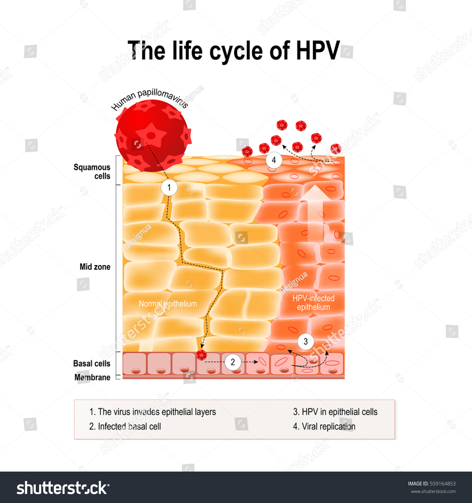Life Cycle Hpv Human Epithelium Hpv Stock Vector