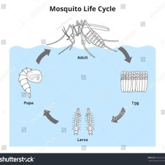 Lizard Life Cycle Diagram Electric Wiring Mosquito Time