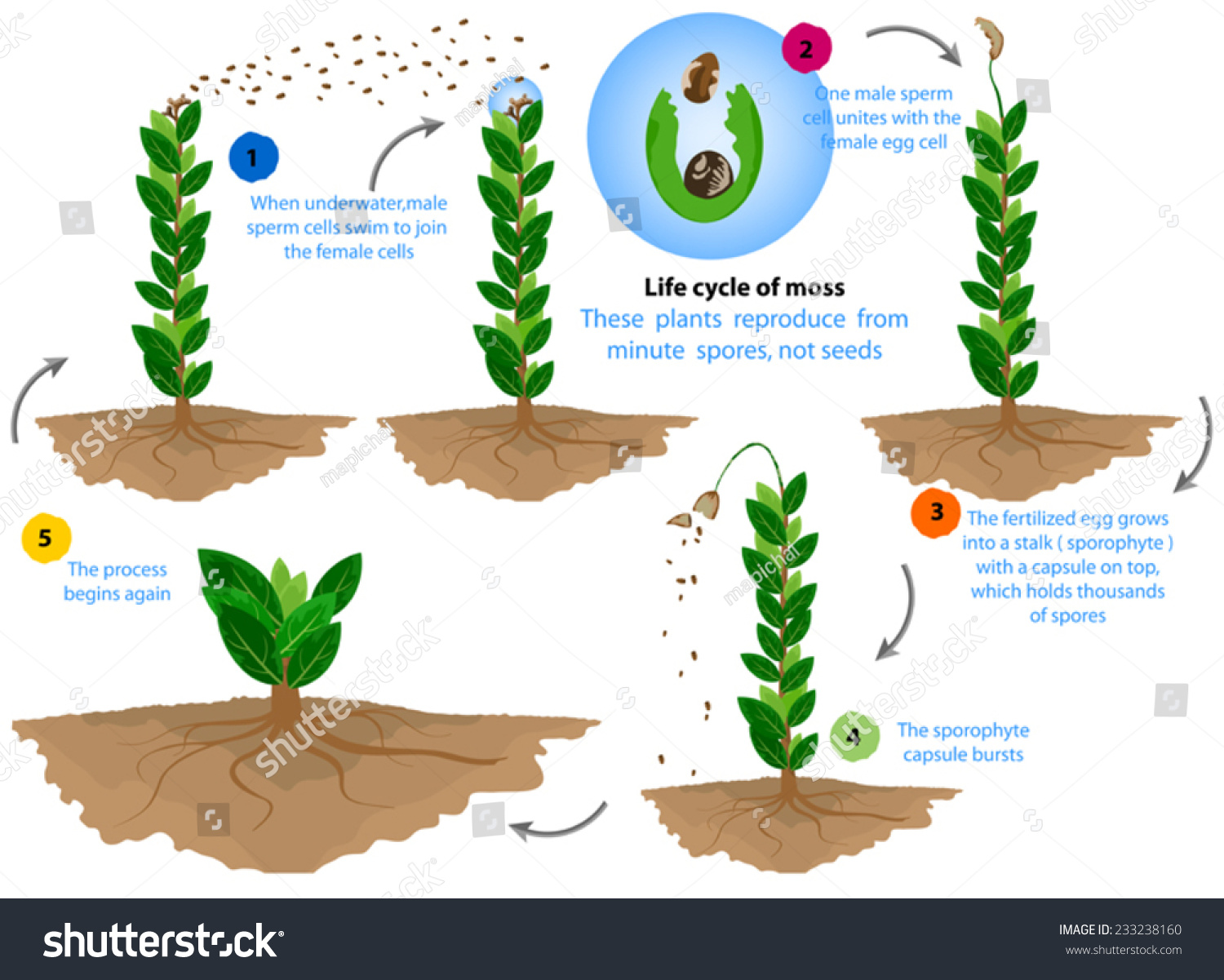 life cycle of moss plant diagram 3 way solenoid valve reproduce clip art  cliparts