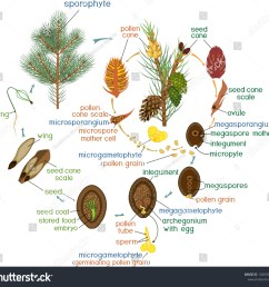 life cycle of pine tree reproduction of gymnosperms with titles [ 1500 x 1407 Pixel ]