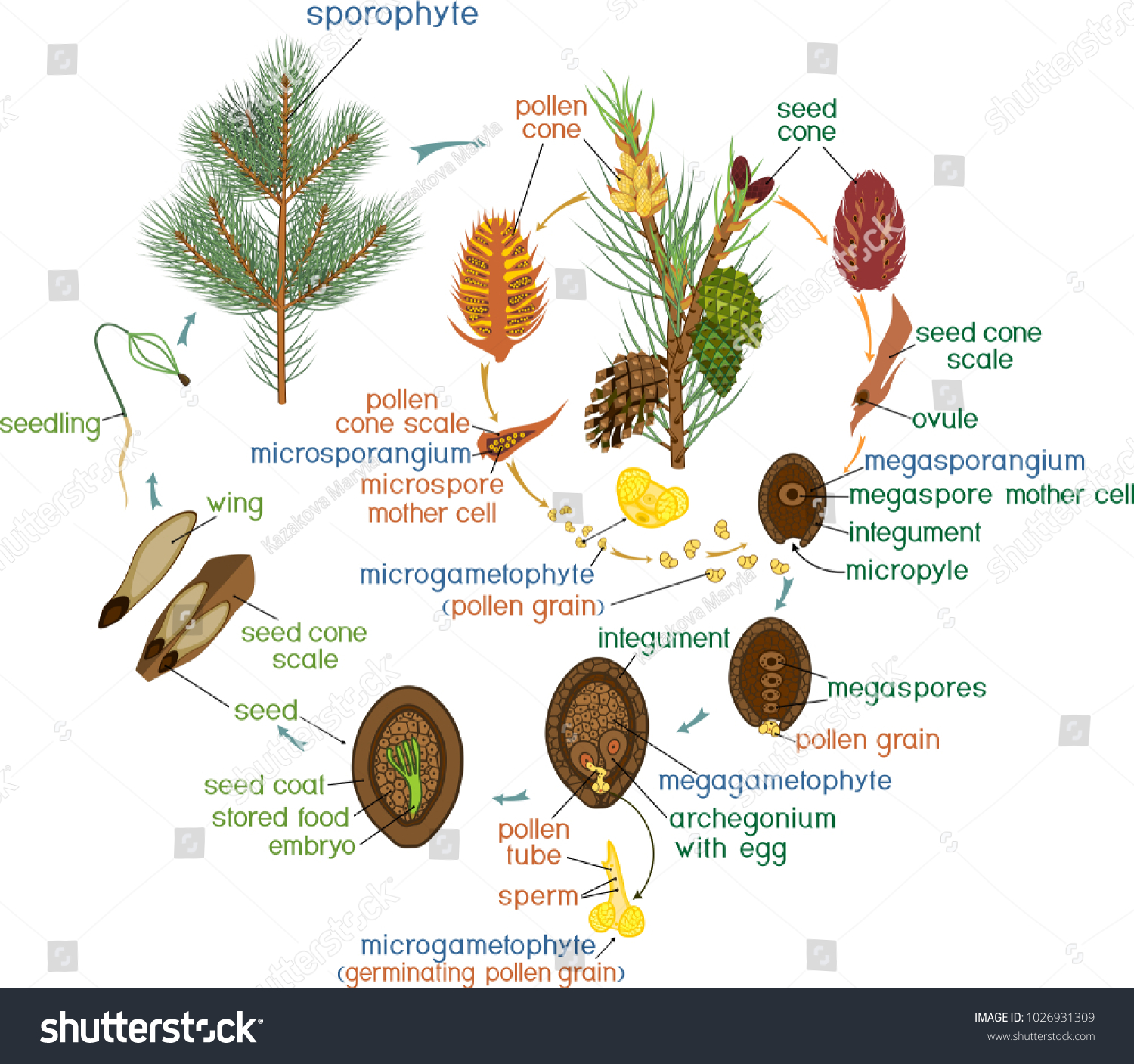 hight resolution of life cycle of pine tree reproduction of gymnosperms with titles