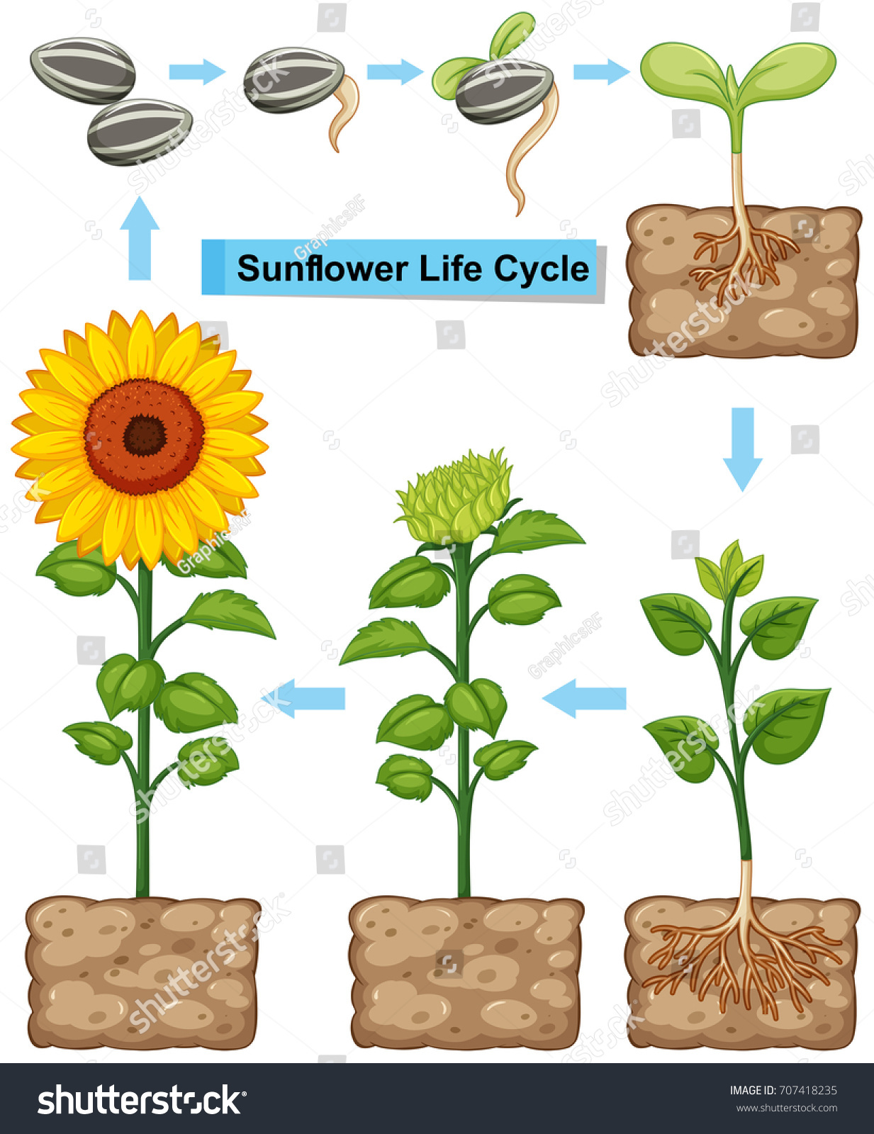 Life Cycle Sunflower Plant Illustration Stock Vector