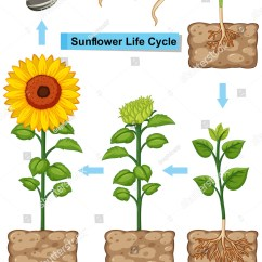 Sunflower Plant Life Cycle Diagram 2003 Ford Windstar Wiring Illustration Stock Vector