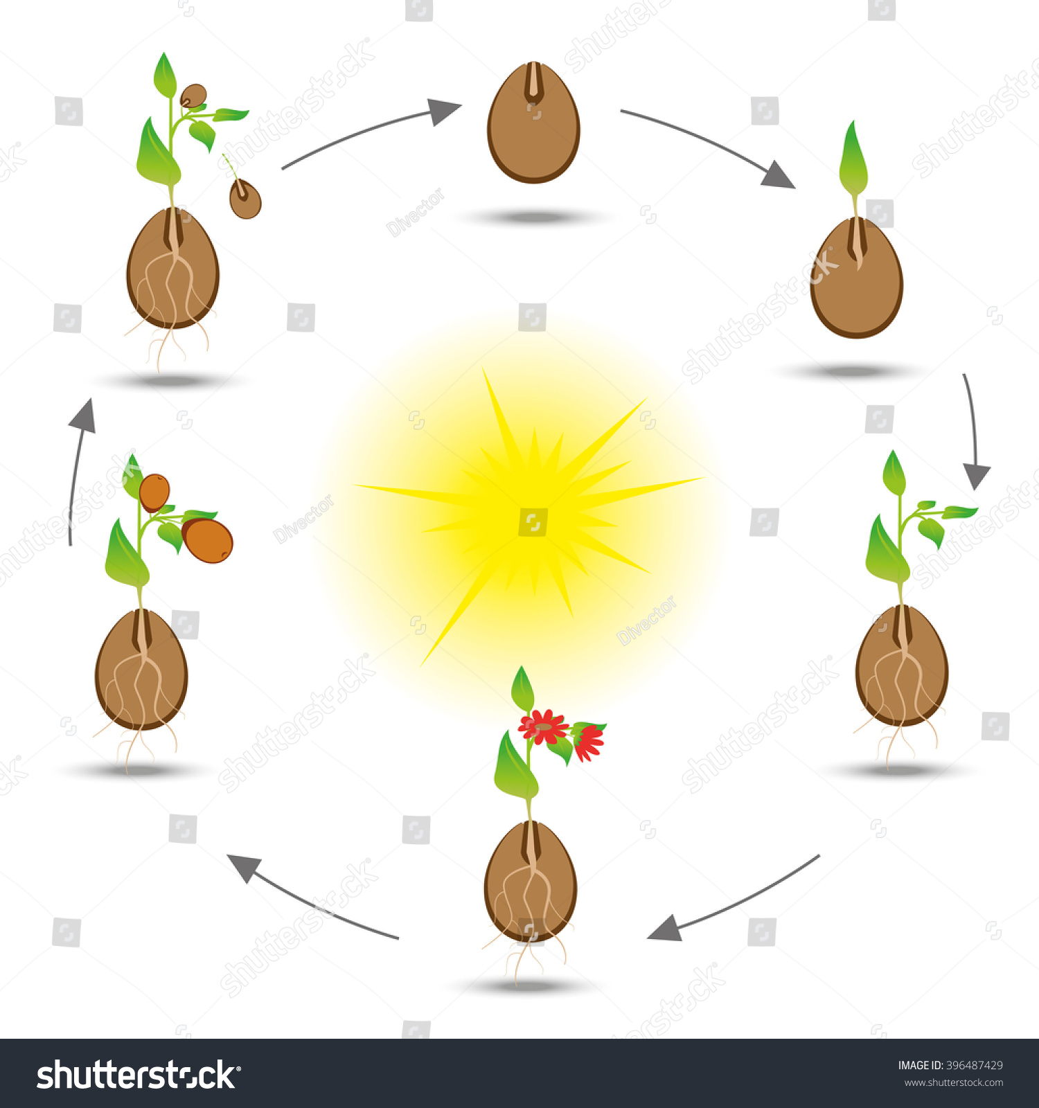 sunflower plant life cycle diagram 3 way active crossover circuit of lavender flower lily