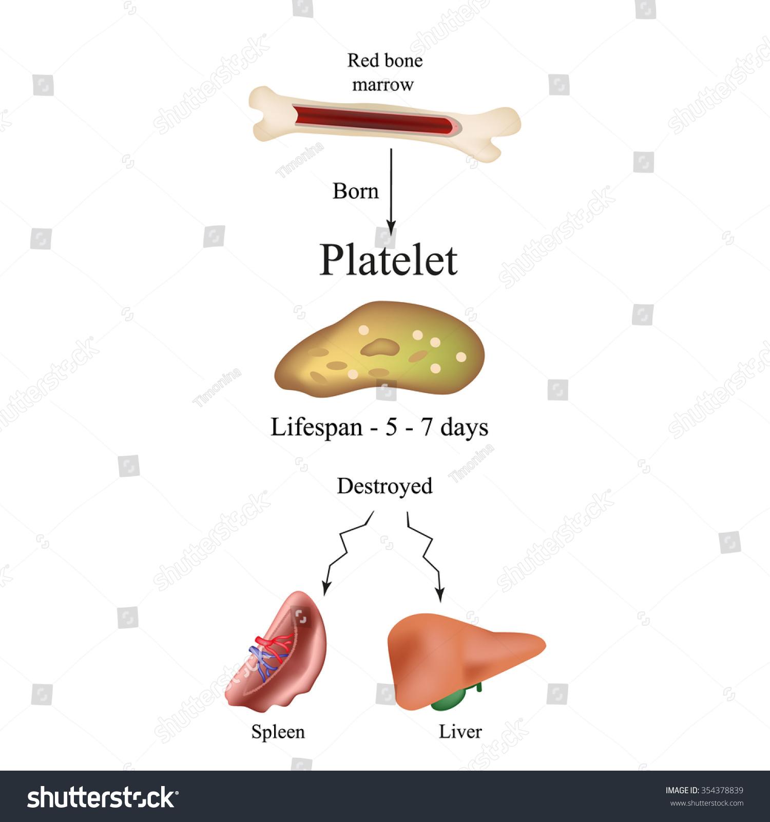 liver and spleen diagram weg brake motor wiring limbo platelets bone marrow dieback stock vector