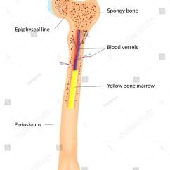 Human Long Bone Diagram Toyota Celica Wiring 1993 Anatomy Vector Scheme Stock 117537319