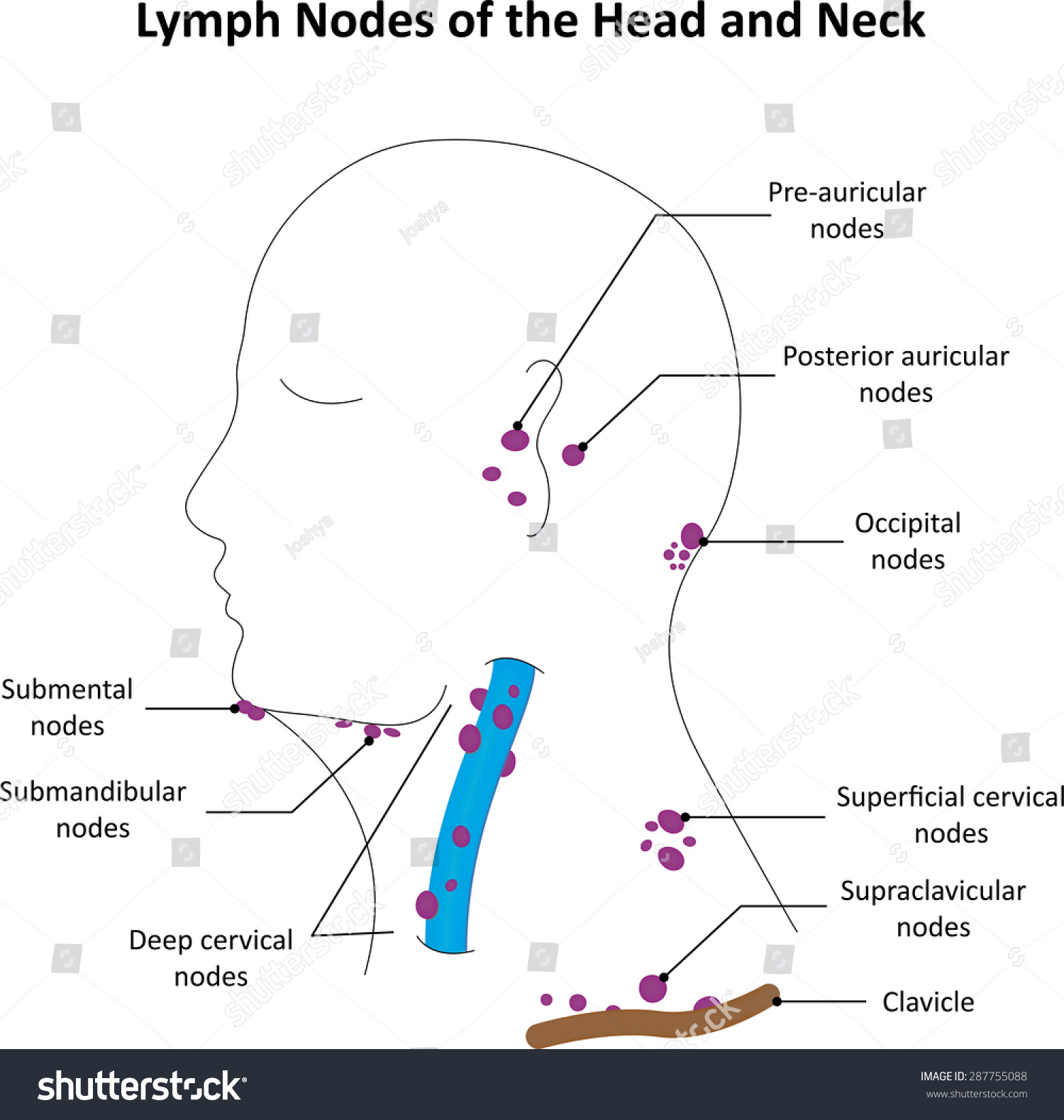 hight resolution of lymph nodes of the head and neck labelled diagram