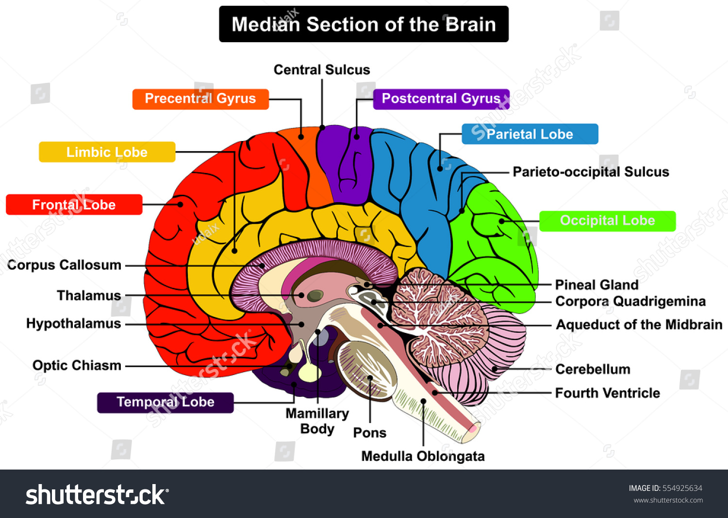 Median Section Human Brain Anatomical Structure Stock