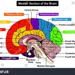 Brain Cross Section Diagram Subaru Vacuum Median Human Anatomical Structure Stock