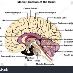 The Human Brain In Photographs And Diagrams 1996 Jeep Cherokee Ignition Wiring Diagram Median Section Anatomical Structure Stock