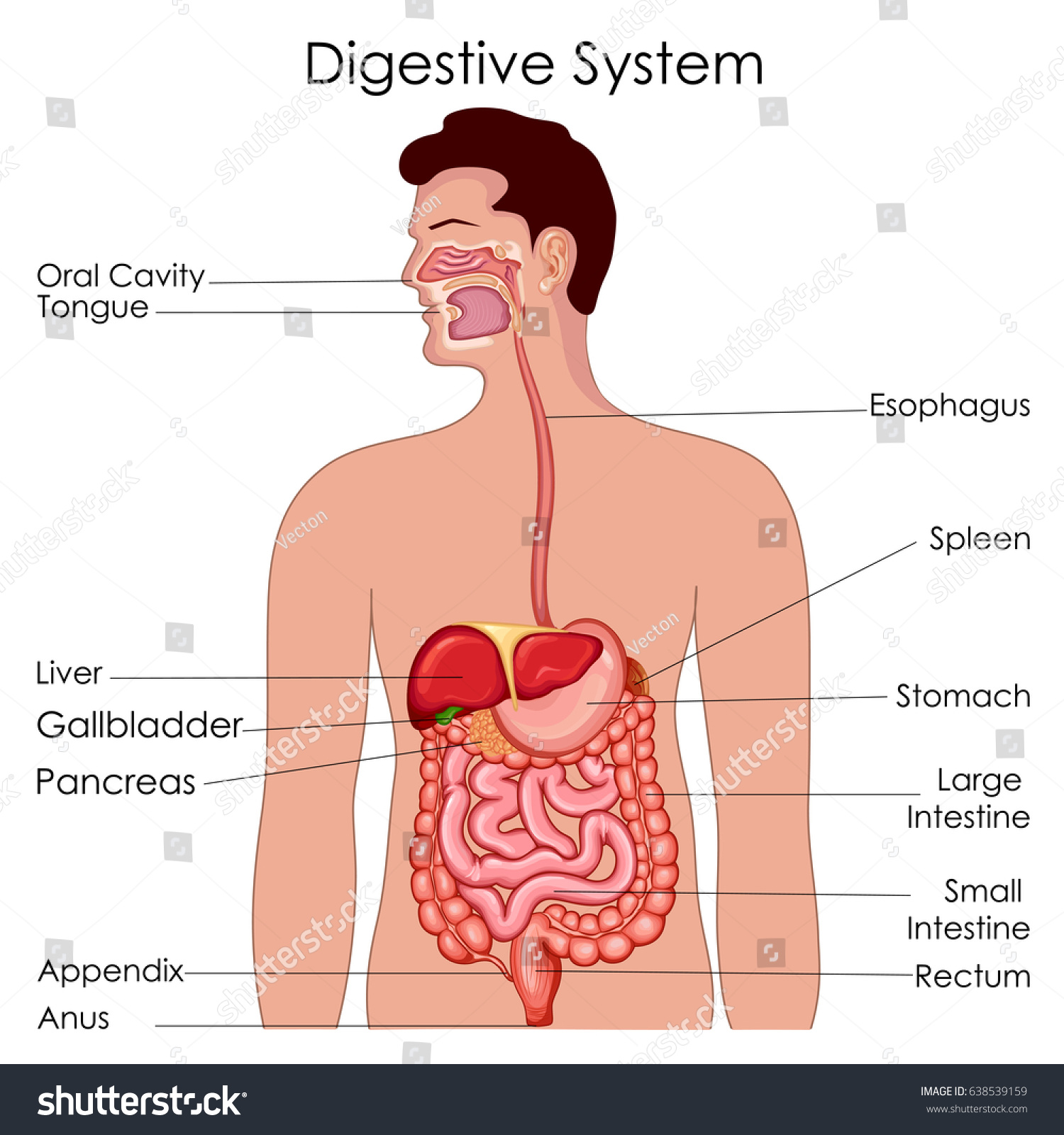 hight resolution of medical education chart of biology for digestive system diagram vector illustration