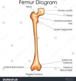 leg femur diagram data wiring diagram today bone diagram [ 1464 x 1600 Pixel ]