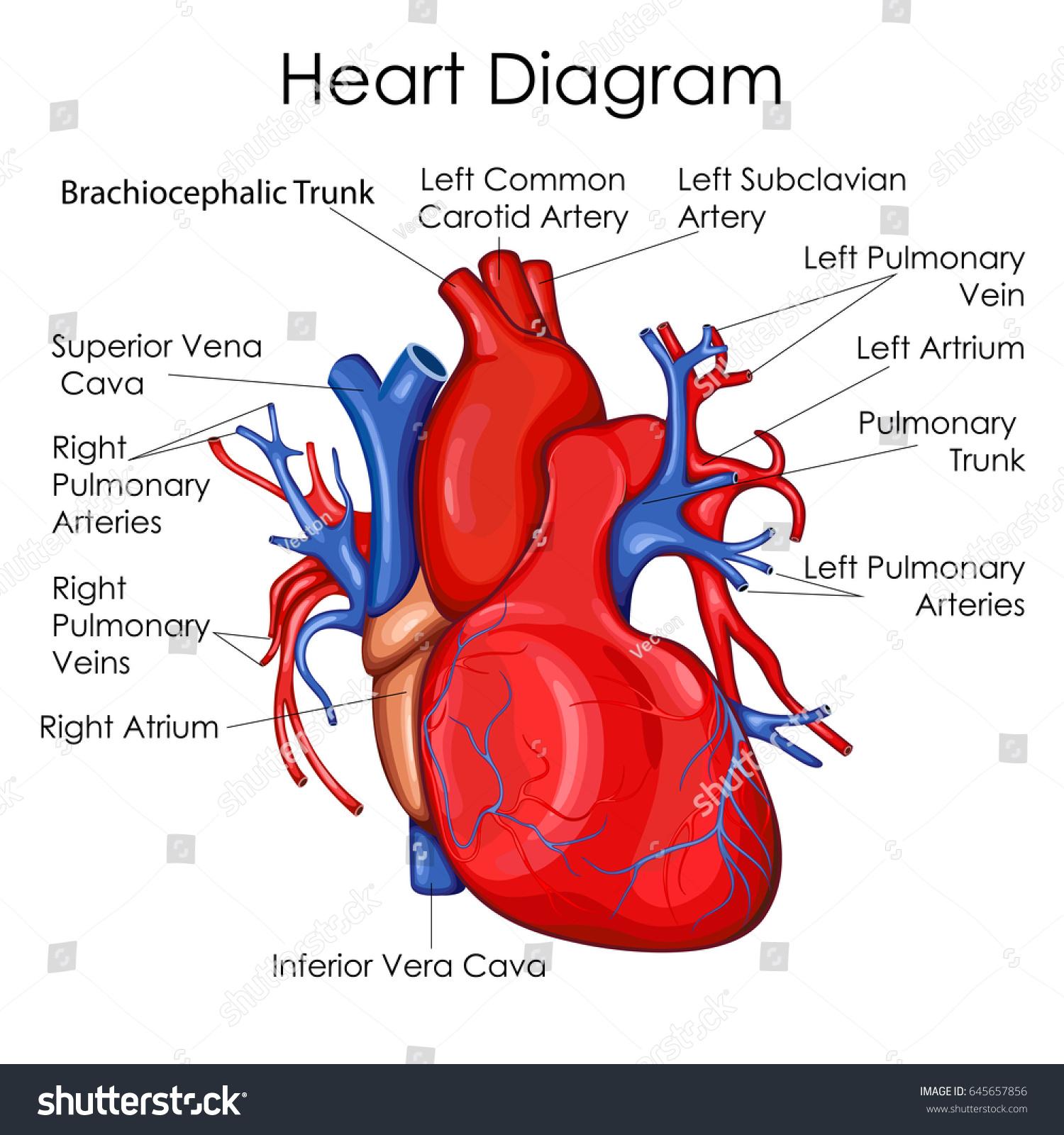 Medical Education Chart Biology Heart Diagram Stock Vector