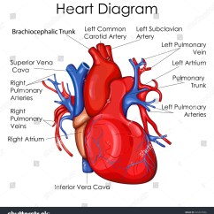 Healthy Heart Diagram Rheem Electric Water Heater Thermostat Wiring Medical Education Chart Biology Stock Vector