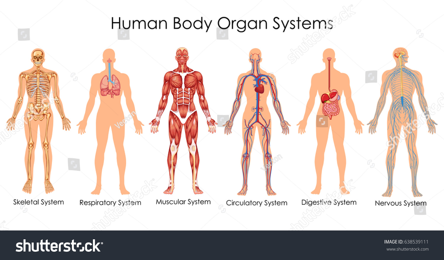 hight resolution of medical education chart of biology for human body organ system diagram vector illustration