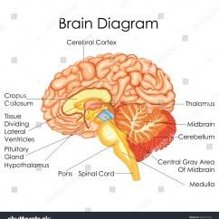 Brain Diagram Thalamus Define Pictorial Wiring Medical Education Chart Biology Human Stock Vector