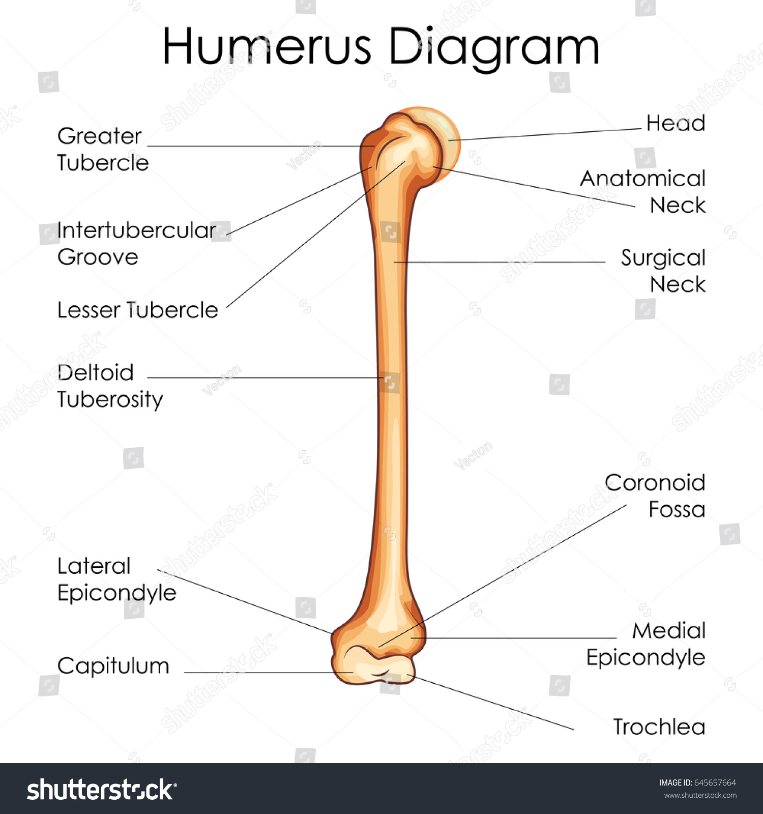 humerus bone diagram wiring for hot water heater element medical education chart biology stock
