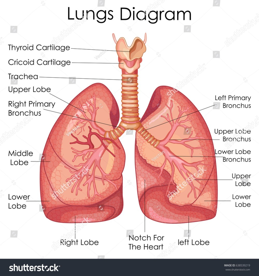medium resolution of medical education chart of biology for lungs diagram vector illustration