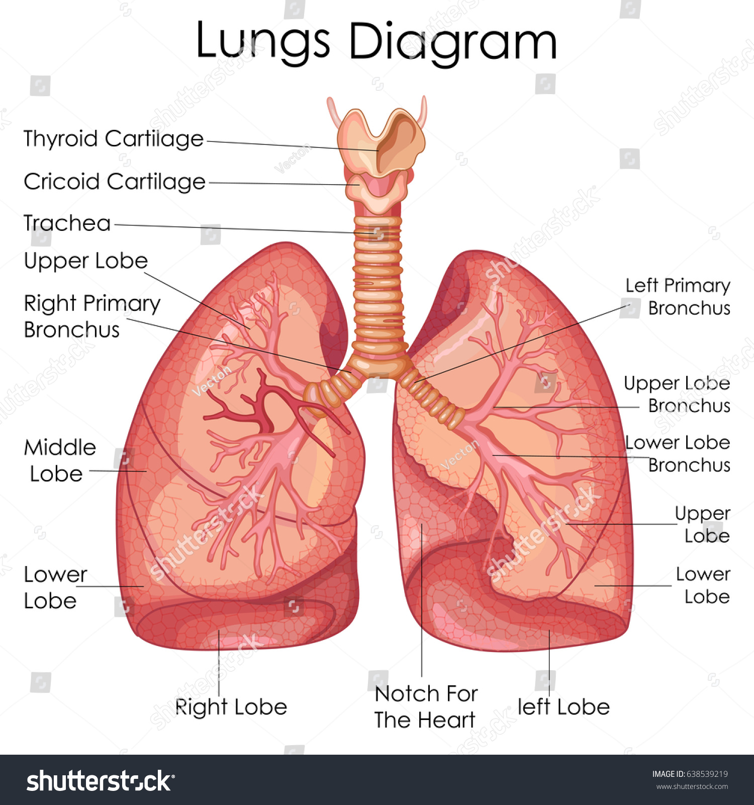 hight resolution of medical education chart of biology for lungs diagram vector illustration