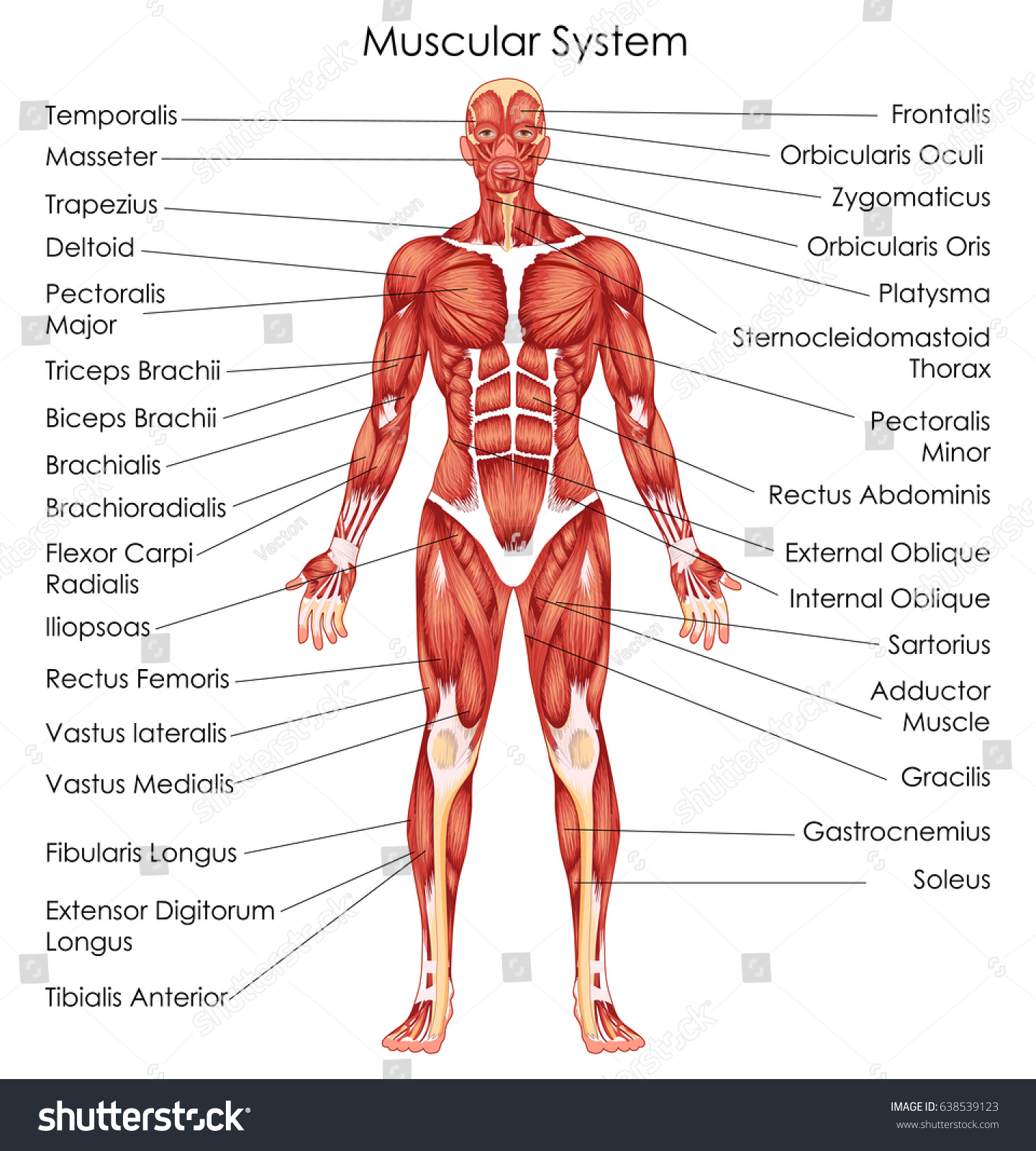 hight resolution of medical education chart of biology for muscular system diagram vector illustration