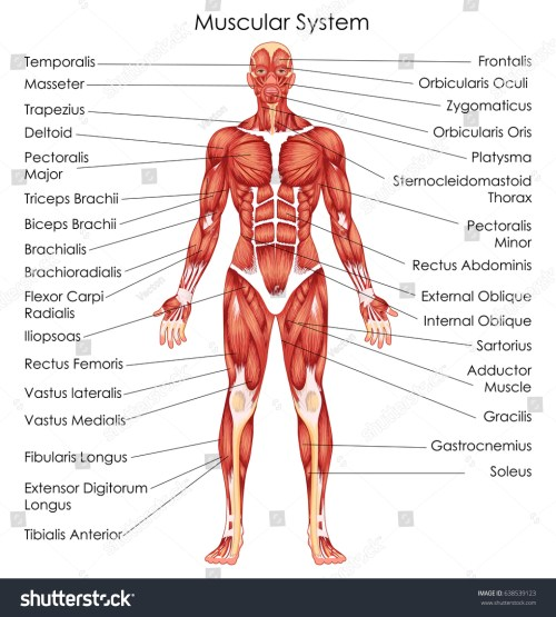 small resolution of medical education chart of biology for muscular system diagram vector illustration