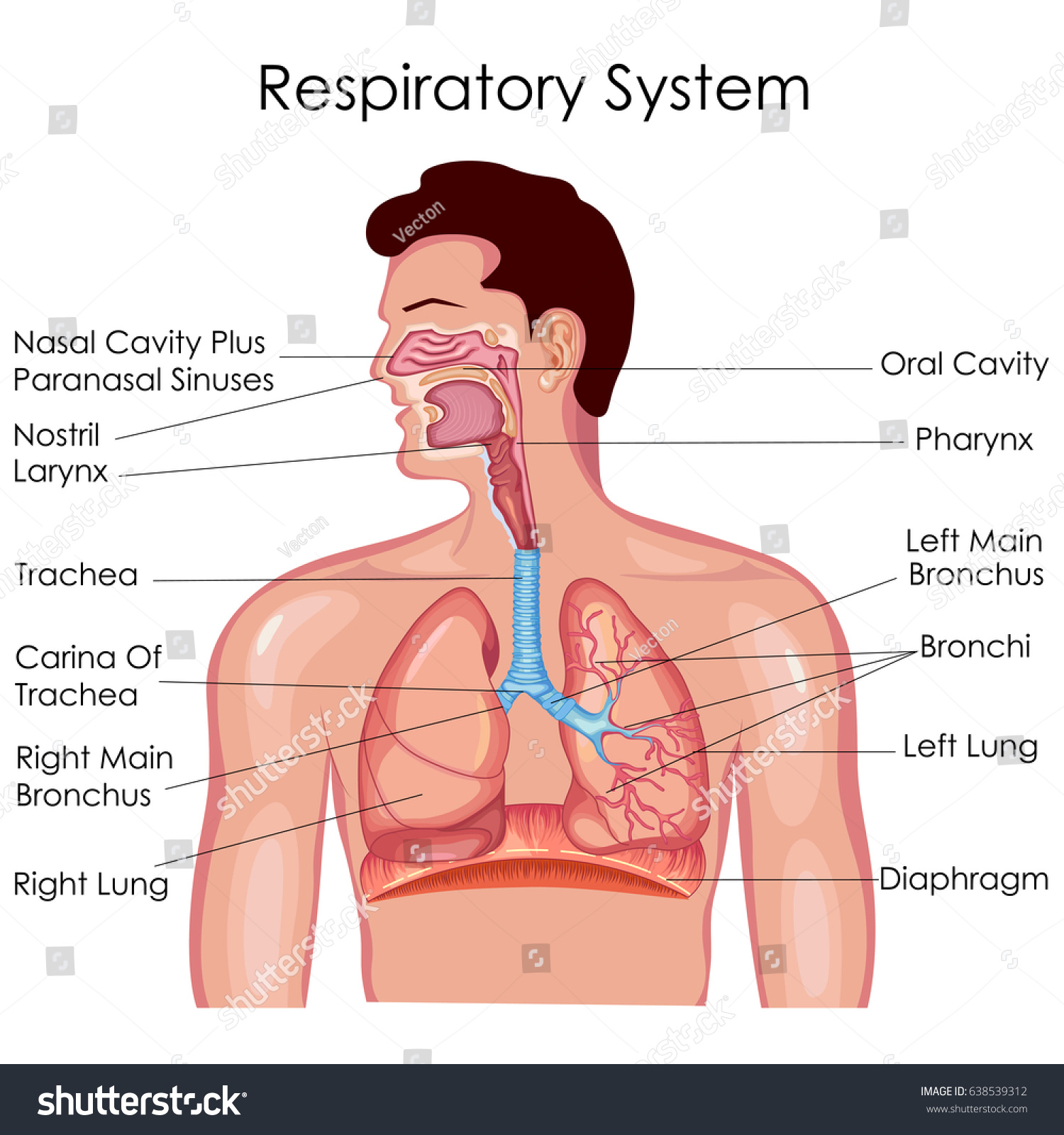 diagram of respiratory syste auto electrical wiring manual system
