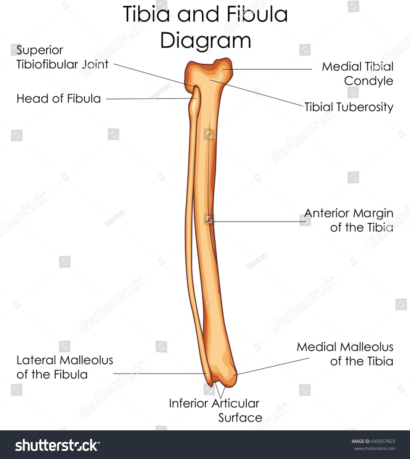 tibia and fibula blank diagram land cruiser electrical wiring related keywords long tail
