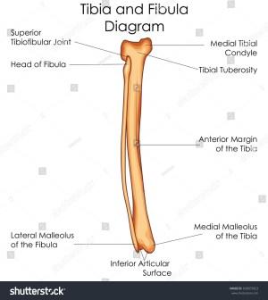 Medical Education Chart Biology Tibia Fibula Stock Vector