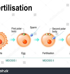 meiosis and fertilization the different stages of meiosis in mammalian oocytes [ 1500 x 1147 Pixel ]