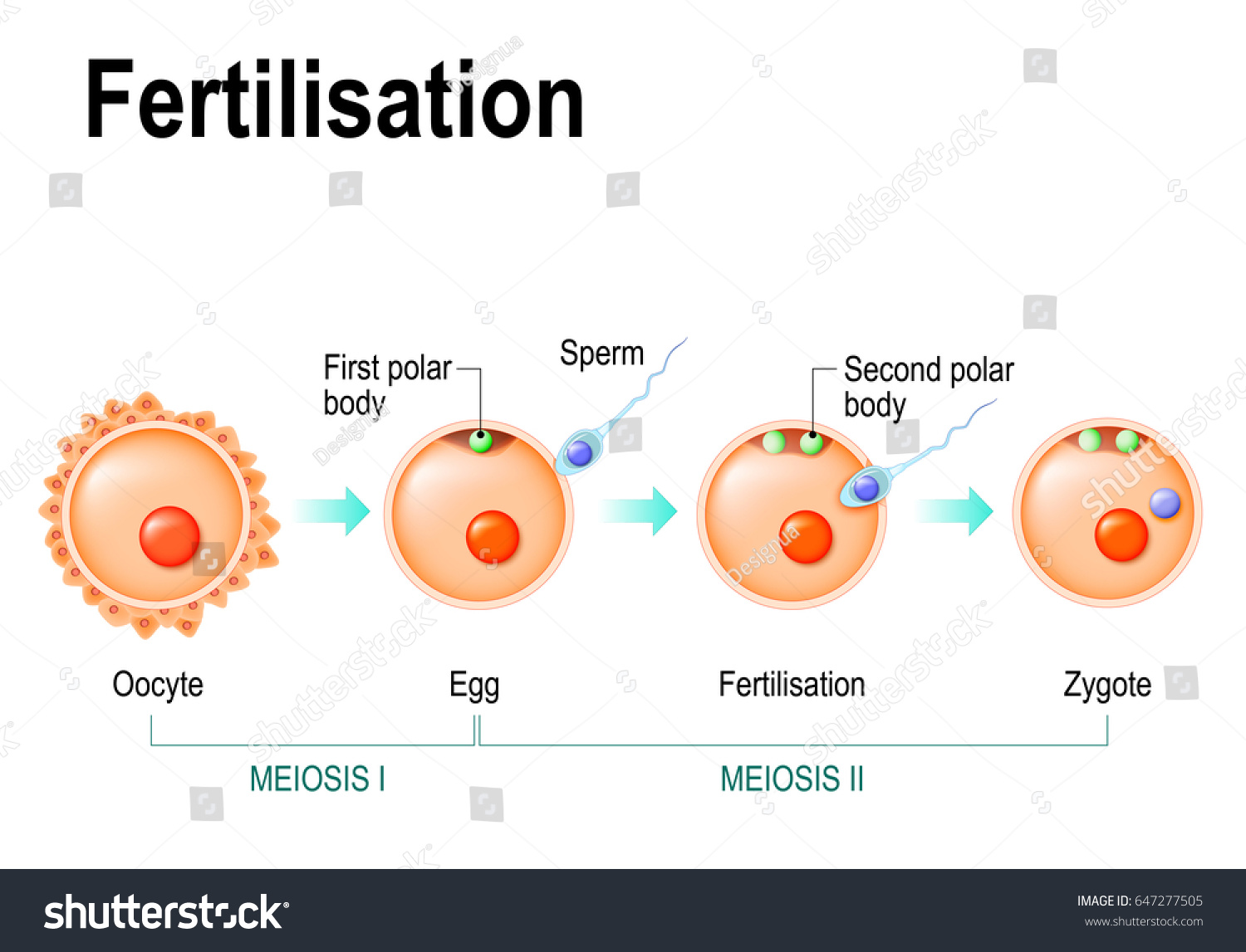 hight resolution of meiosis and fertilization the different stages of meiosis in mammalian oocytes