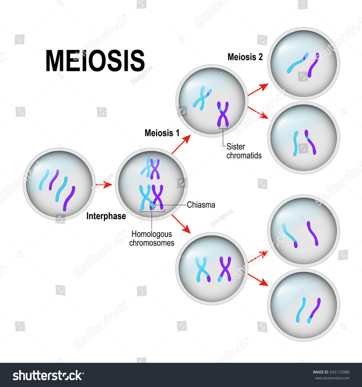 stages of mitosis and meiosis diagrams squier p bass wiring diagram cell division interphase illustration labeled