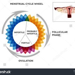 Menstrual Cycle Diagram With Ovulation Vintage Telecaster Wiring Calendar Detailed Female Stock