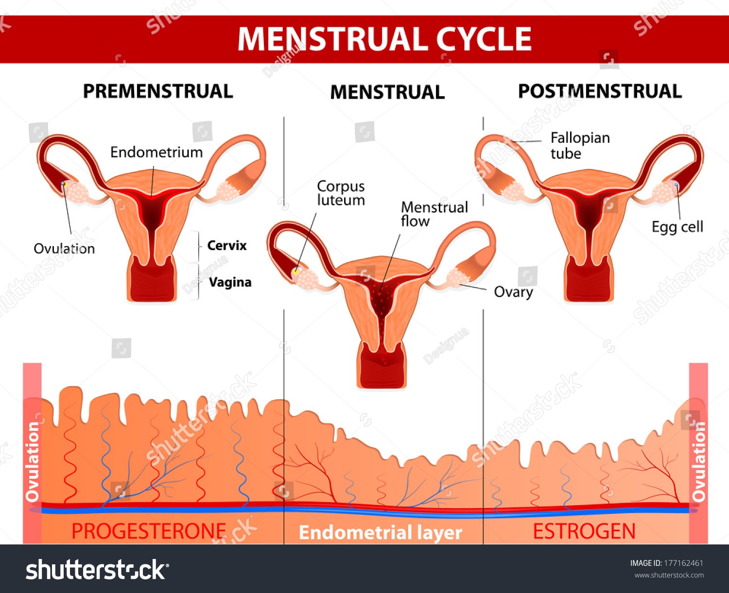 menstrual cycle diagram with ovulation ge ecm 2 3 motor wiring menstruation follicle phase