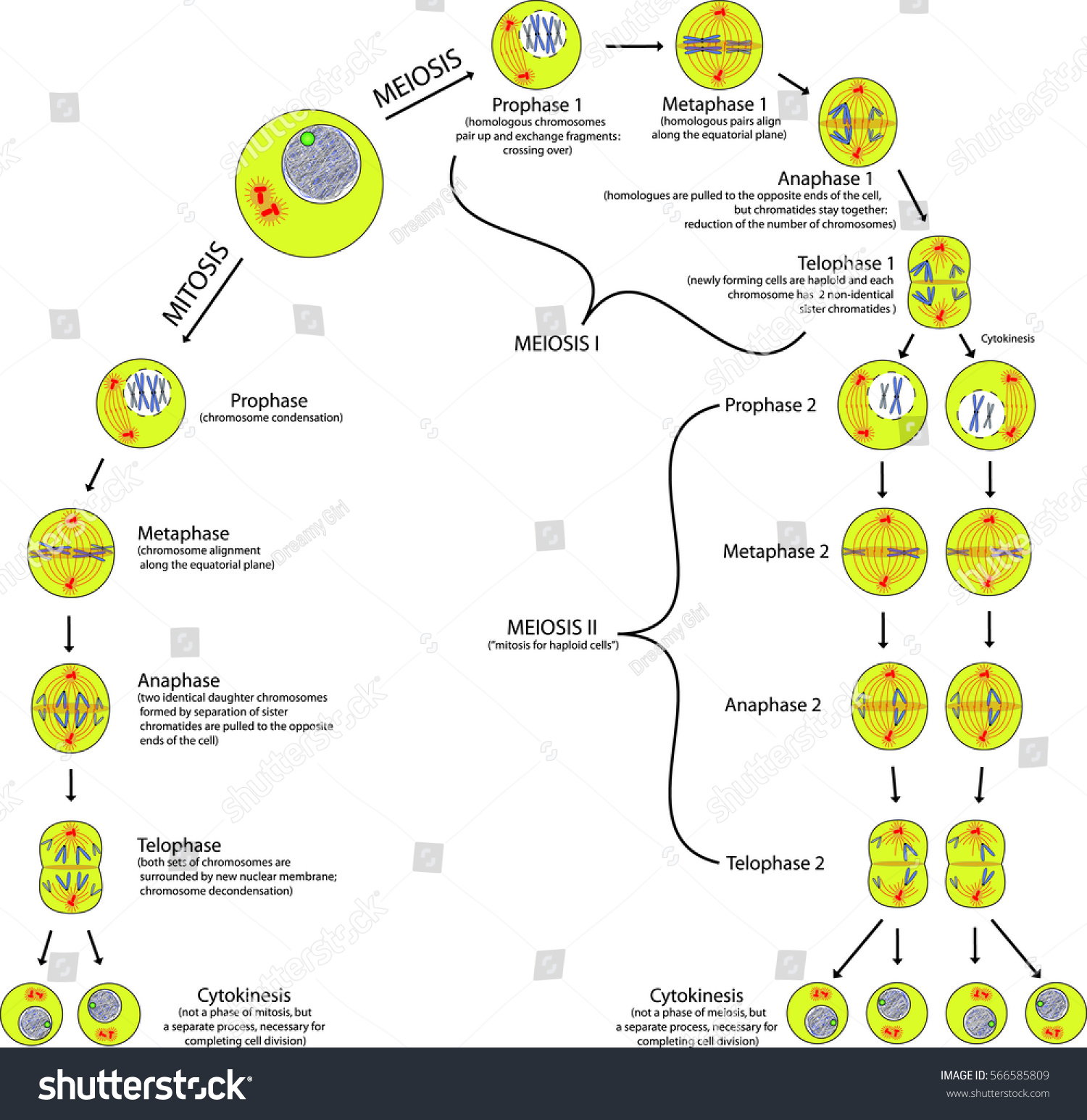 hight resolution of mitosis and meiosis comparison of phases scheme with explanation