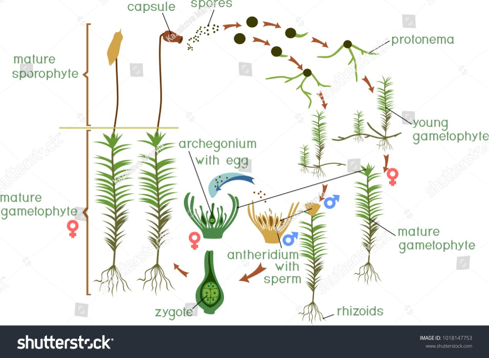 medium resolution of diagram of a life cycle of a common haircap moss polytrichum