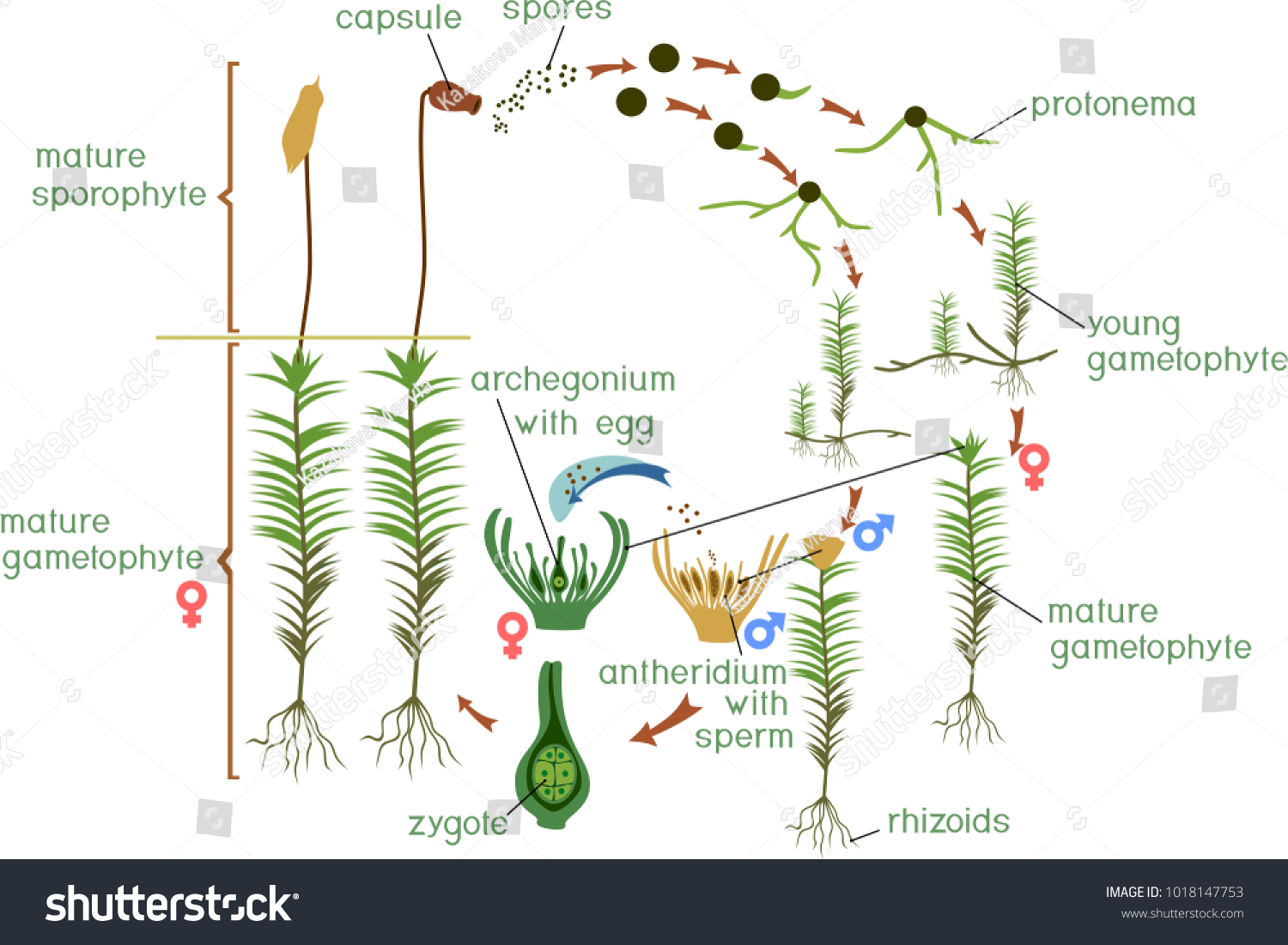 hight resolution of diagram of a life cycle of a common haircap moss polytrichum