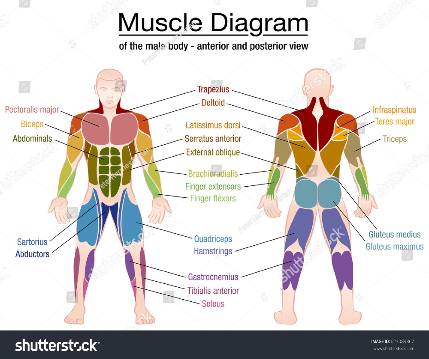 Muscle Diagram Most Important Muscles Athletic Stock