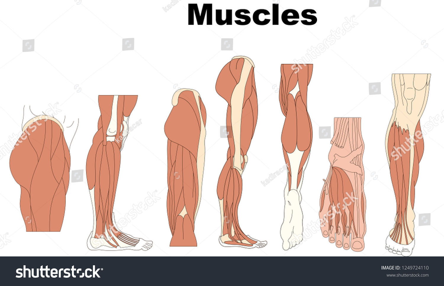 hight resolution of muscles medical education chart of biology for human body organ system diagram vector illustration