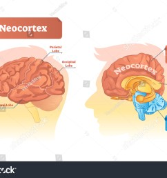 neocortex vector illustration labeled diagram with location and functions frontal parietal occipital [ 1500 x 1063 Pixel ]