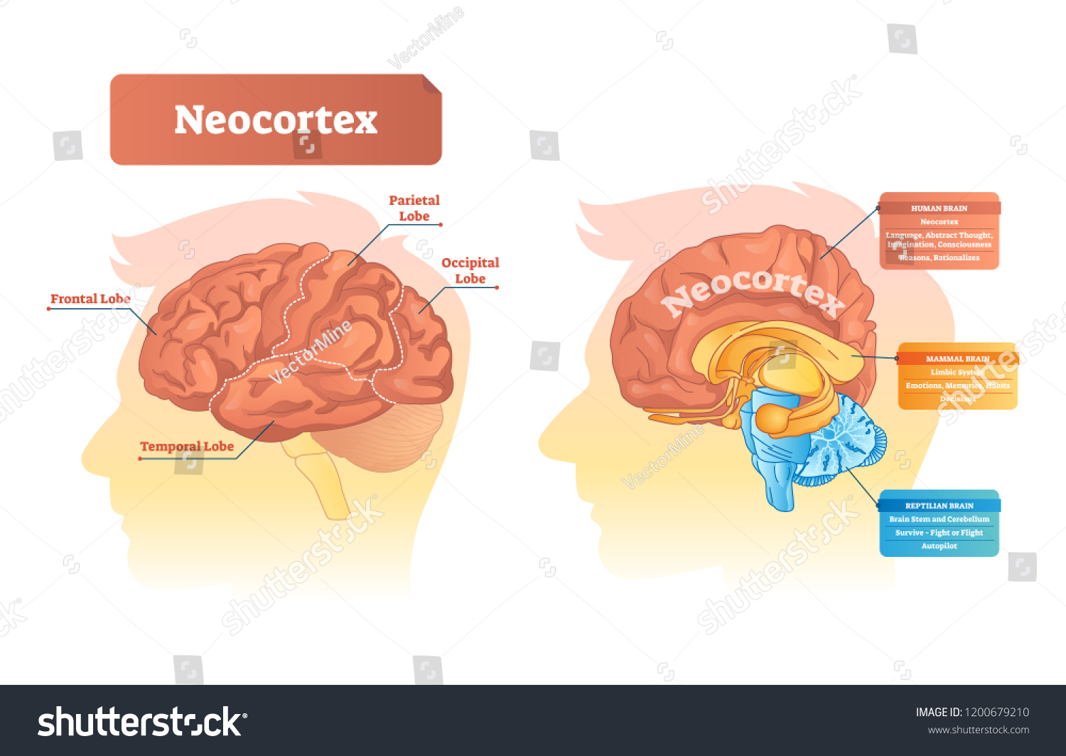 hight resolution of neocortex vector illustration labeled diagram with location and functions frontal parietal occipital