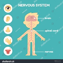 Five Senses Diagram 2000 Kia Sephia Engine Nervous System Educational Anatomy Chart For Kids Nerves