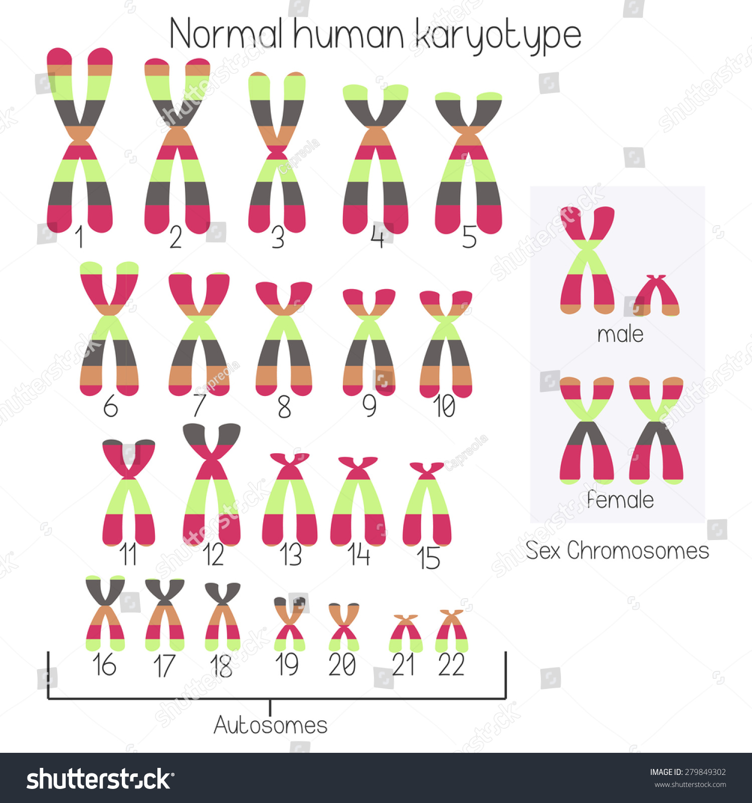 Normal Human Karyotype Chromosome Idiogram Stock Vector