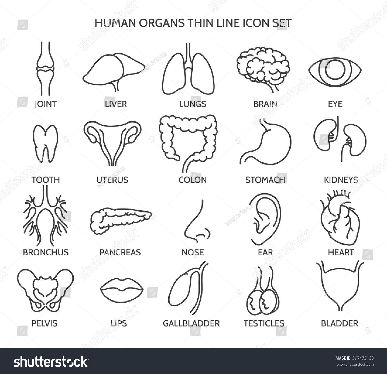 Organ Line Icons Human Organ Signs Or Human Body Parts