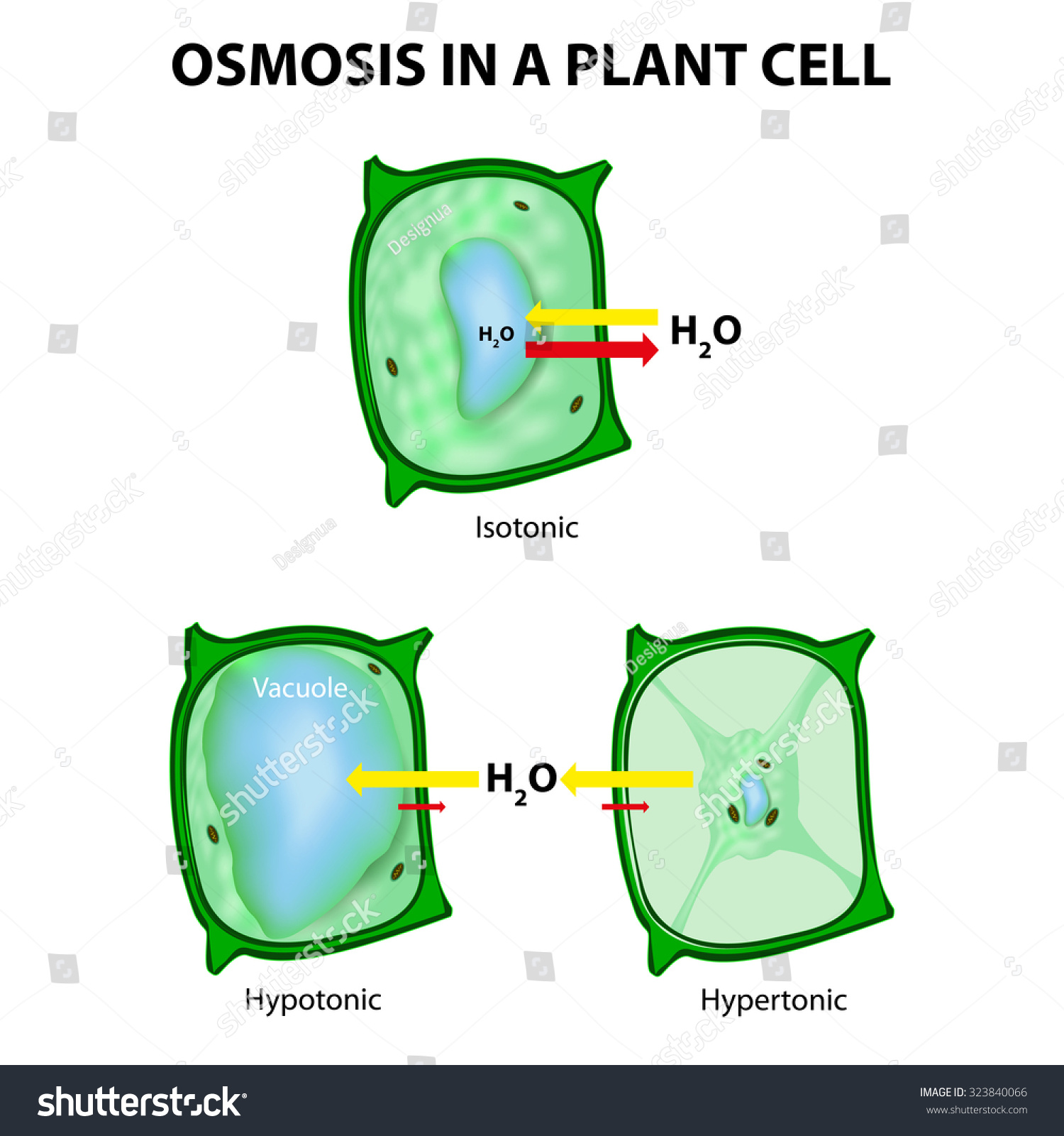 Osmosis Plant Cell 3 Types Tonicity Stock Vector