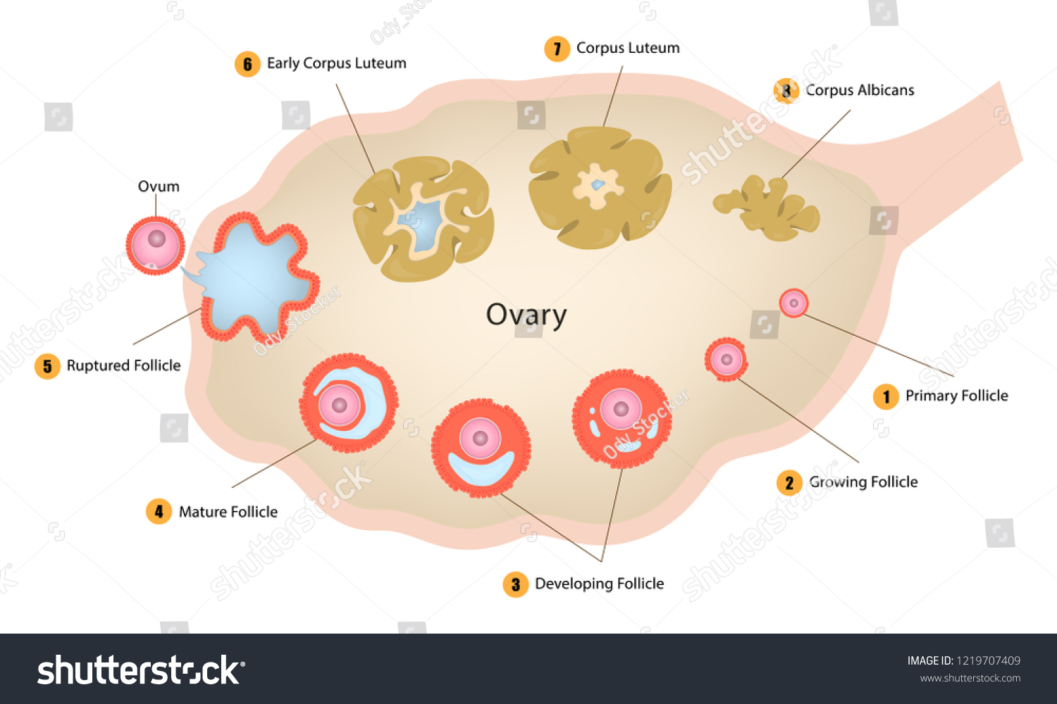 hight resolution of ovarian cycle diagram of egg cell development ovulation structure of an ovary