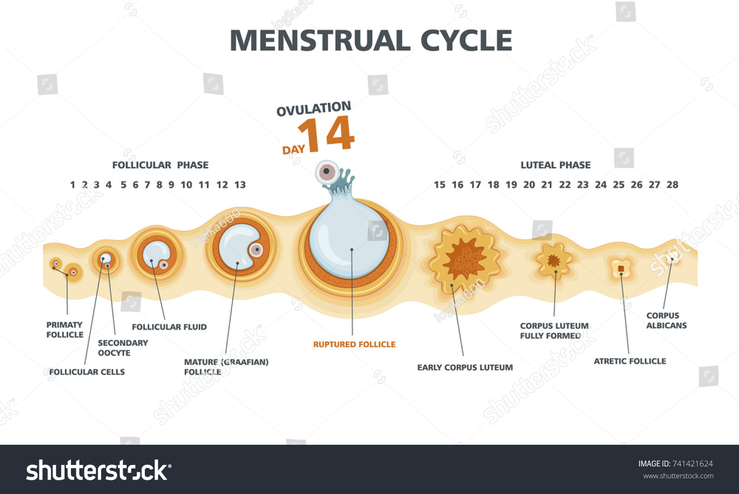 menstrual cycle diagram with ovulation wiring for rv battery isolator chart female stock vector