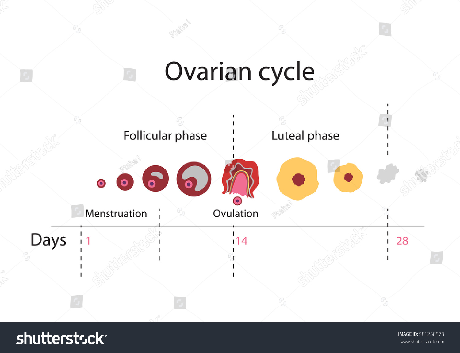 menstrual cycle diagram with ovulation autometer electric water temp gauge wiring chart showing ovarian stock vector 581258578 - shutterstock