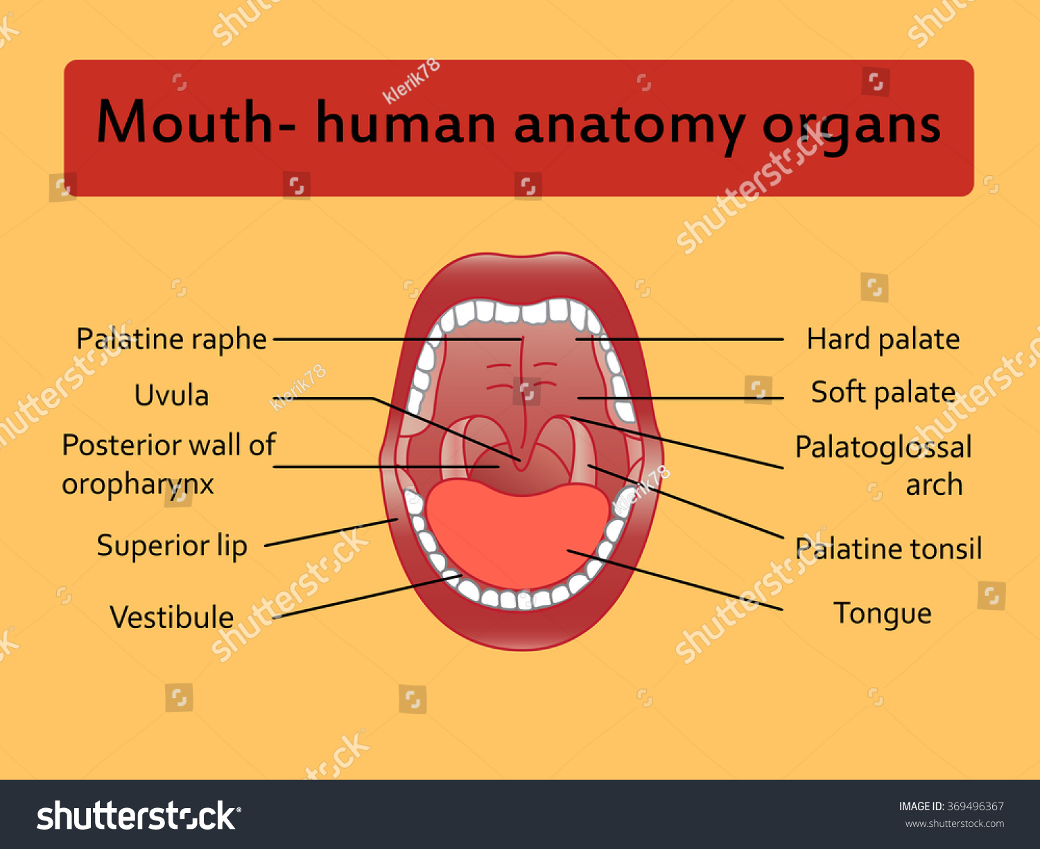 hight resolution of parts of human mouth open mouth and white healthy teeth vector diagram with