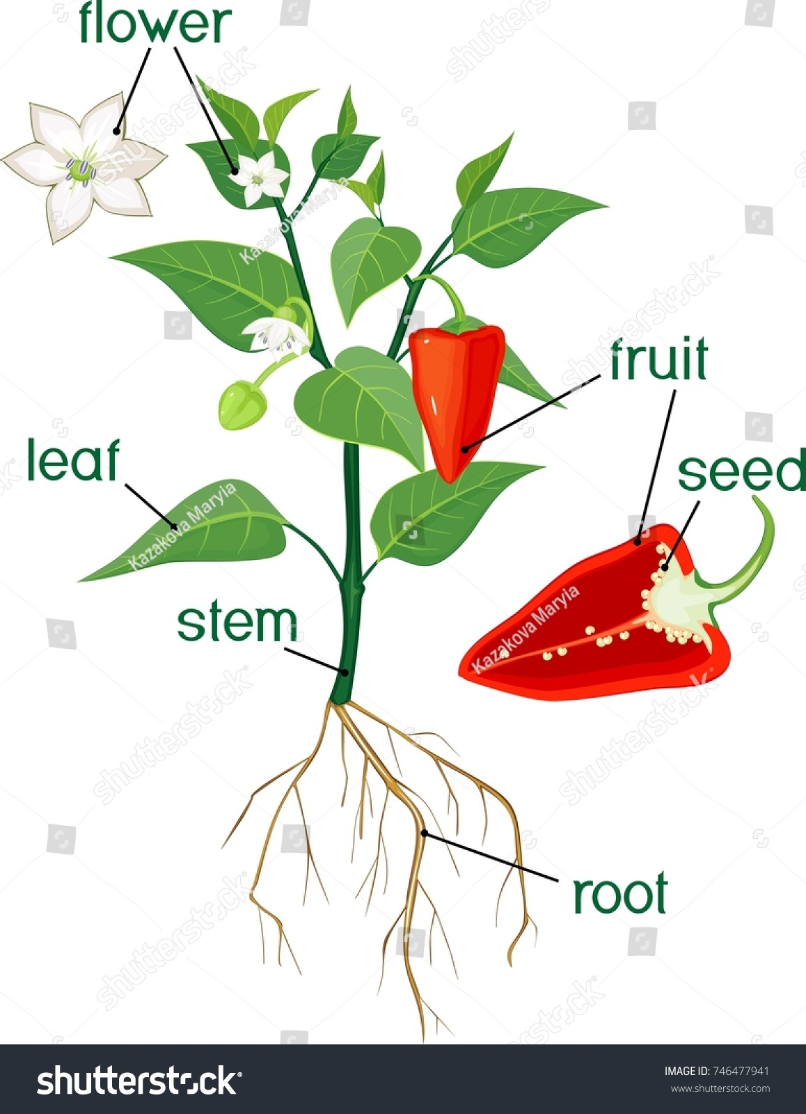 morphology tree diagram human arterial and venous system parts plant flowering bell pepper stock vector
